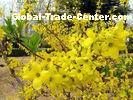 Chinese Herbal Medicines Fructus Forsythiae , Free Pesticide