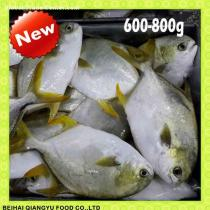 New Arrival Frozen whole round Golden pompano/pomfret